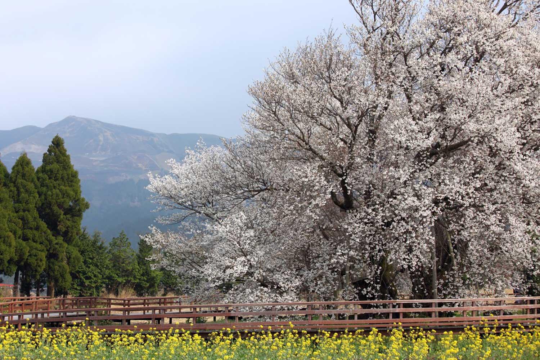 熊本県出身トラベルライター直伝!南阿蘇のおすすめ桜スポットで過ごす一日贅沢プラン!